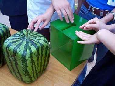 البطيخ المكعّب